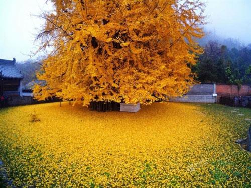"""Cây ngân hạnh 1.400 tuổi đẹp """"rụng rời"""" vào mùa rụng lá - 1"""
