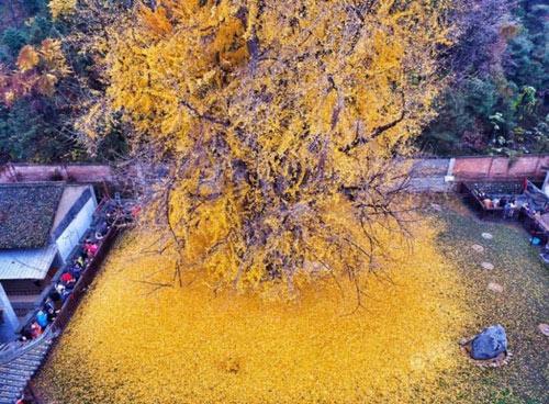 """Cây ngân hạnh 1.400 tuổi đẹp """"rụng rời"""" vào mùa rụng lá - 7"""