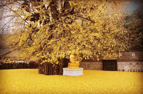 """Cây ngân hạnh 1.400 tuổi đẹp """"rụng rời"""" vào mùa rụng lá - 3"""
