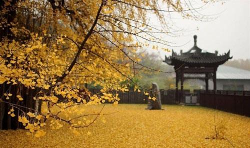 """Cây ngân hạnh 1.400 tuổi đẹp """"rụng rời"""" vào mùa rụng lá - 8"""