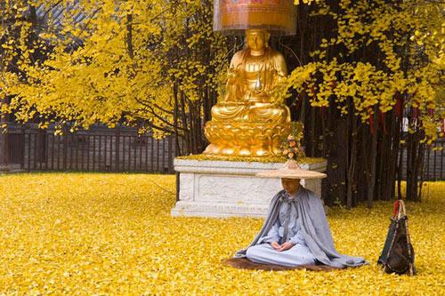 """Cây ngân hạnh 1.400 tuổi đẹp """"rụng rời"""" vào mùa rụng lá - 6"""