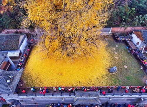 """Cây ngân hạnh 1.400 tuổi đẹp """"rụng rời"""" vào mùa rụng lá - 4"""