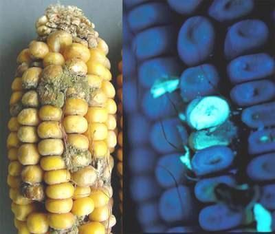 Cảnh báo lạc, gạo mốc chứa chất cực độc gây ung thư gan - 1