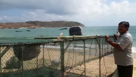 Ngư dân méo mặt vì bị ép giá tôm hùm - 1