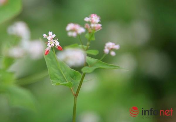 Cận cảnh vườn hoa tam giác mạch giữa lòng Hà Nội - 4