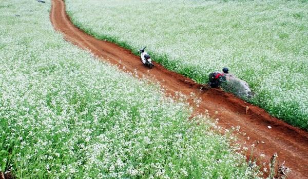 Những điểm ngắm hoa cải trắng tuyệt đẹp ở Mộc Châu - 2