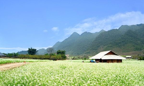 Những điểm ngắm hoa cải trắng tuyệt đẹp ở Mộc Châu - 1