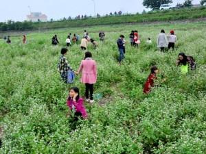 Tin tức trong ngày - Hàng nghìn người giẫm nát hoa tam giác mạch: Chủ vườn lên tiếng