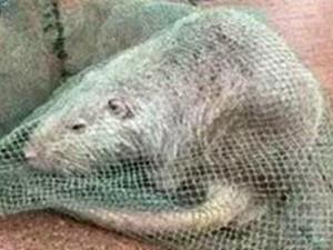 """Phi thường - kỳ quặc - TQ: Bắt được chuột """"khổng lồ"""" dài gần 1 mét"""