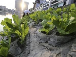 """Tin tức trong ngày - Dân Thủ đô tự trồng rau sạch kiểu """"cao nguyên đá"""""""
