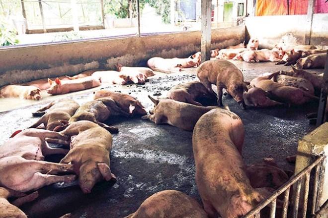 Hà Nội: Thủ đoạn mới đưa chất cấm vào nuôi lợn - 1