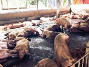 Thị trường - Tiêu dùng - Hà Nội: Thủ đoạn mới đưa chất cấm vào nuôi lợn
