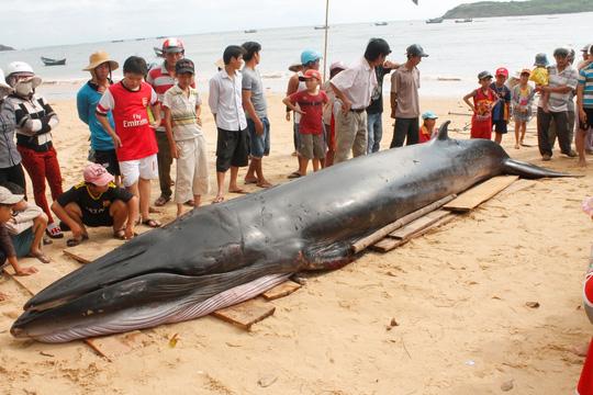 Cá voi xanh dạt bờ biển Phú Yên với nhiều vết thương - 2