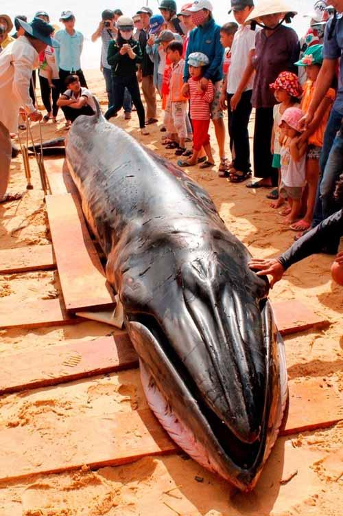 Cá voi xanh dạt bờ biển Phú Yên với nhiều vết thương - 3