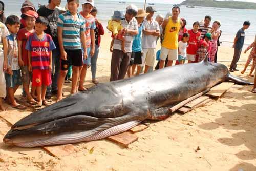 Cá voi xanh dạt bờ biển Phú Yên với nhiều vết thương - 1