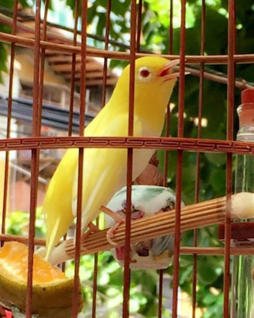 """Chim trăm triệu của """"vua chim màu"""" khiến dân chơi """"điên đảo"""" - 2"""