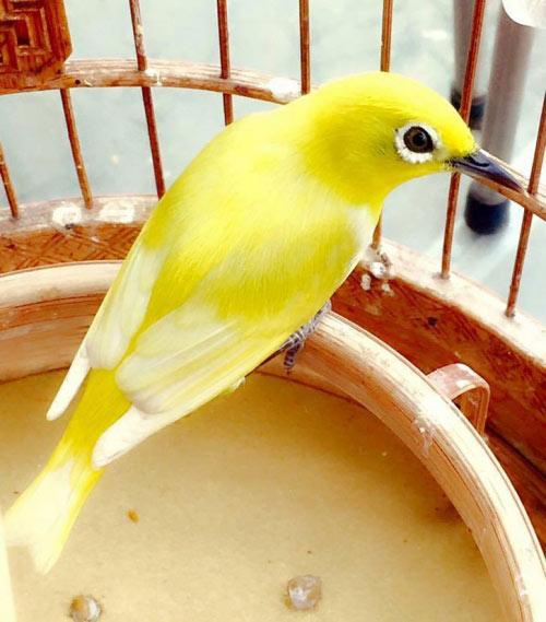 """Chim trăm triệu của """"vua chim màu"""" khiến dân chơi """"điên đảo"""" - 3"""