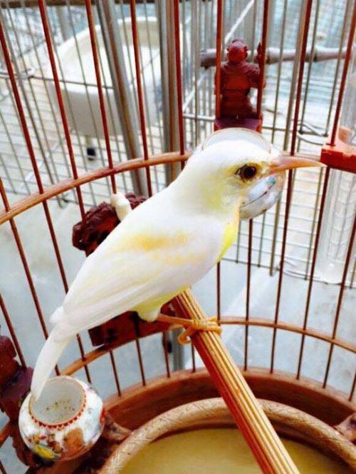 """Chim trăm triệu của """"vua chim màu"""" khiến dân chơi """"điên đảo"""" - 4"""