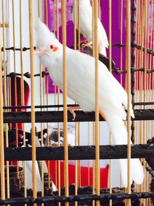 """Chim trăm triệu của """"vua chim màu"""" khiến dân chơi """"điên đảo"""" - 6"""