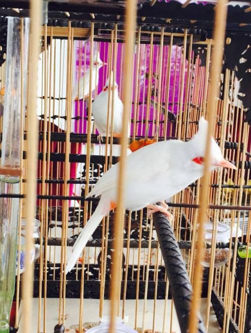 """Chim trăm triệu của """"vua chim màu"""" khiến dân chơi """"điên đảo"""" - 7"""