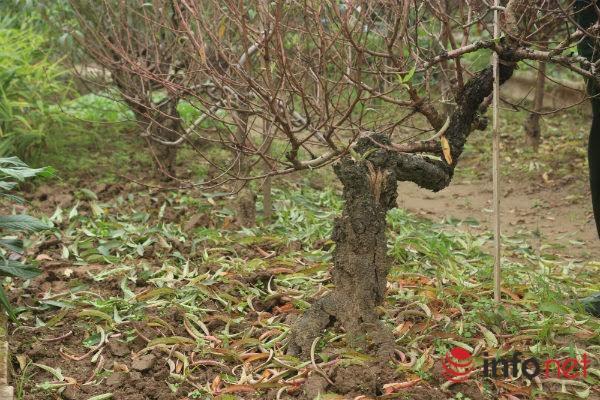 Đào thế cổ, mọc rêu, leo cuốn... giá khủng cho thuê Tết - 5