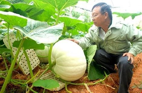 Chiêm ngưỡng những trái bí khổng lồ ở Đà Lạt - 1