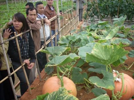 Chiêm ngưỡng những trái bí khổng lồ ở Đà Lạt - 2