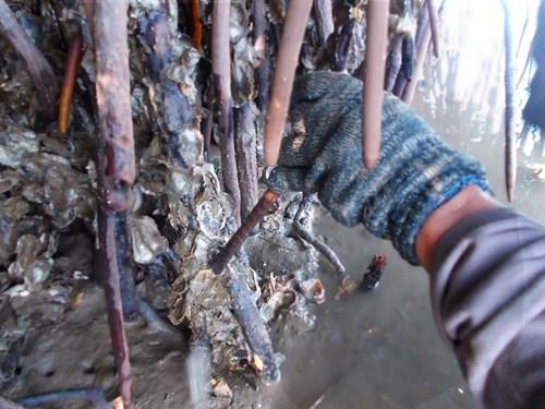 Nghề đập hàu biển hái tiền ở Quảng Ngãi - 4