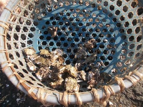 Nghề đập hàu biển hái tiền ở Quảng Ngãi - 5