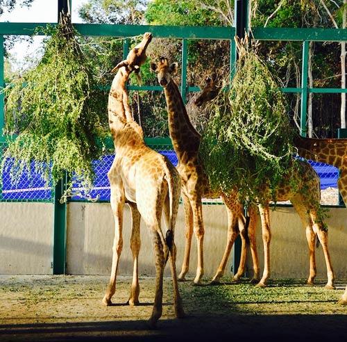 """Vinpearl Safari Phú Quốc đón thêm 200 thú """"cưỡi"""" chuyên cơ về từ Châu Phi - 6"""