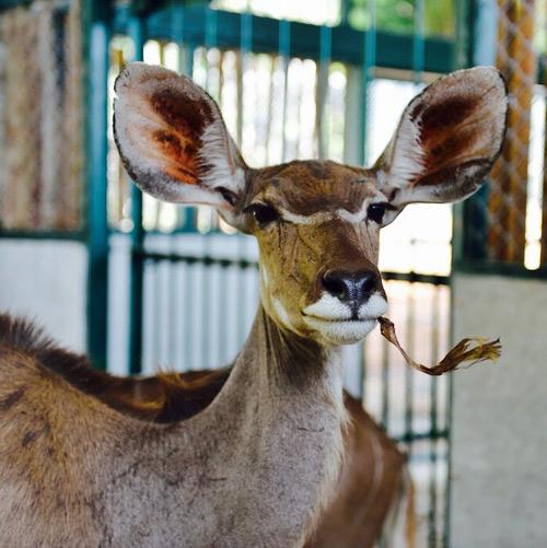 """Vinpearl Safari Phú Quốc đón thêm 200 thú """"cưỡi"""" chuyên cơ về từ Châu Phi - 5"""
