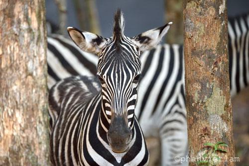 """Vinpearl Safari Phú Quốc đón thêm 200 thú """"cưỡi"""" chuyên cơ về từ Châu Phi - 1"""
