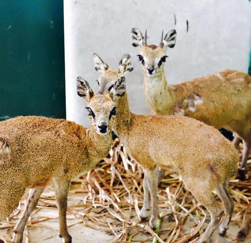 """Vinpearl Safari Phú Quốc đón thêm 200 thú """"cưỡi"""" chuyên cơ về từ Châu Phi - 2"""