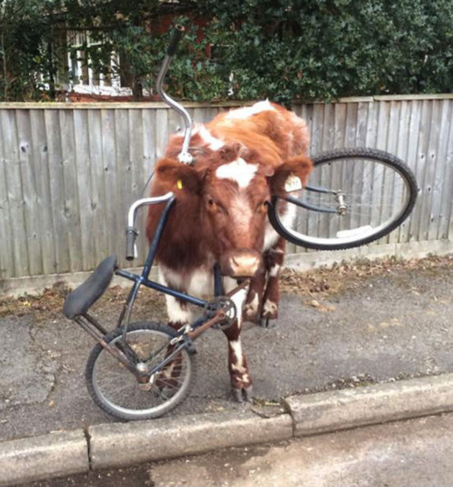 Bò bị kẹt đầu trong khung một chiếc xe đạp trên đường phố ở Brockenhurst, Anh.