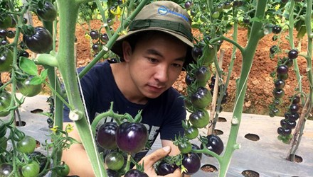 Vườn cà chua đen trĩu quả của chàng cử nhân 9X - 1