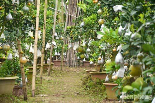 Ngắm vườn thập quả cực độc đáo của lão nông ở Thủ đô - 2