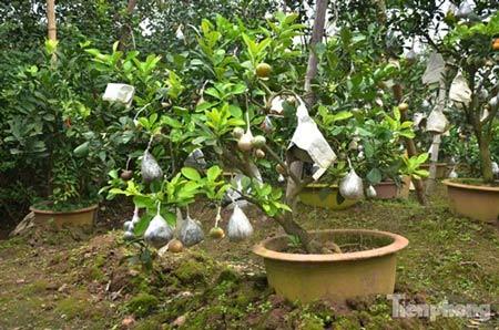Ngắm vườn thập quả cực độc đáo của lão nông ở Thủ đô - 11