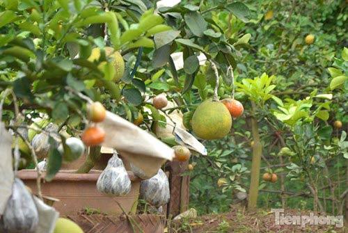 Ngắm vườn thập quả cực độc đáo của lão nông ở Thủ đô - 12