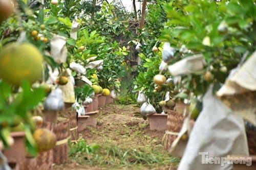 Ngắm vườn thập quả cực độc đáo của lão nông ở Thủ đô - 14