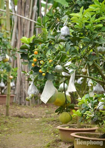 Ngắm vườn thập quả cực độc đáo của lão nông ở Thủ đô - 3