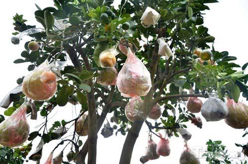 Ngắm vườn thập quả cực độc đáo của lão nông ở Thủ đô - 5