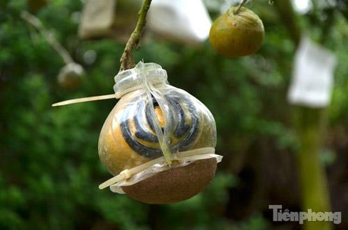 Ngắm vườn thập quả cực độc đáo của lão nông ở Thủ đô - 8