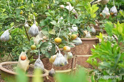 Ngắm vườn thập quả cực độc đáo của lão nông ở Thủ đô - 9