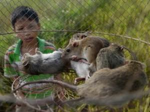 Chuyện lạ ở Nghệ An: Thuốc chuột... tăng lực cho chuột