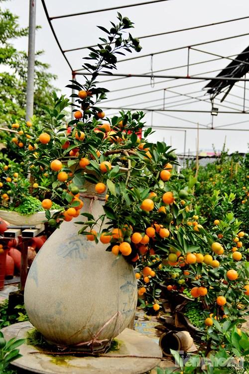 Hàng độc quất bonsai giá chục triệu cho thuê chơi Tết - 9