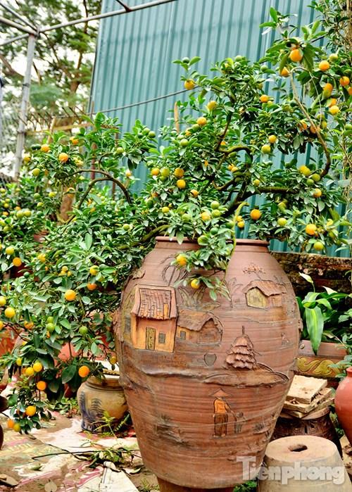 Hàng độc quất bonsai giá chục triệu cho thuê chơi Tết - 11