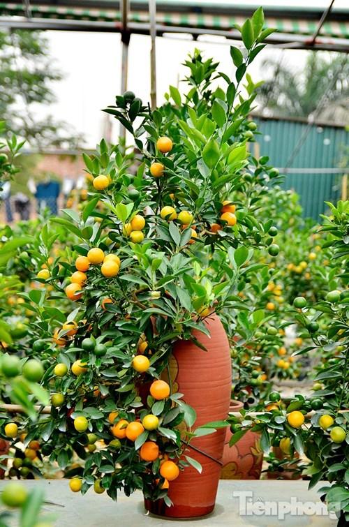 Hàng độc quất bonsai giá chục triệu cho thuê chơi Tết - 12
