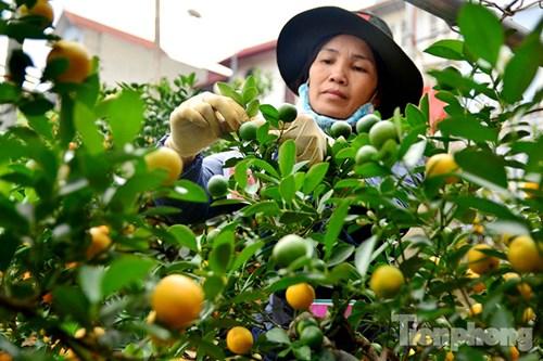 Hàng độc quất bonsai giá chục triệu cho thuê chơi Tết - 13