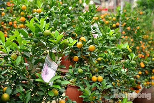 Hàng độc quất bonsai giá chục triệu cho thuê chơi Tết - 14