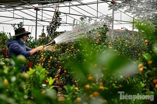 Hàng độc quất bonsai giá chục triệu cho thuê chơi Tết - 15
